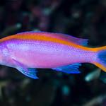 Purple Anthias, female - Pseudanthias tuka thumbnail