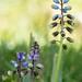 Bellevalia dubia; Asparagaceae (2)