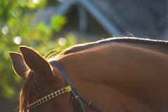 Browband (hyperionone) Tags: horse racehorse horseracing seaofgrace chestnut browband curves mane light autumn ascot