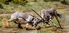 The Joust (Jeff Stamer (Firefallphotography.com)) Tags: oryx serengeti kenya fighting masaimaranationalreserve safari rutting jeffstamer firefallphotography kenyas samburu national reserve