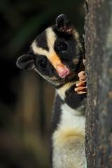 Striped Possum (Caleb McElrea) Tags: borderfx stripedpossum petaurus petaurid possum chamberswildlifelodges lakeeacham craterlakesnationalpark mist athertontableland wettropicsofqueensland farnorthqueensland fnq worldheritagearea unesco queensland australia