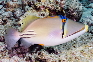 Arabian Picasso Triggerfish - Rhinecanthus assasi