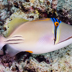 Arabian Picasso Triggerfish - Rhinecanthus assasi thumbnail