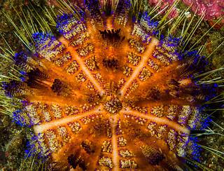 Variable Fire Urchin - Asthenosoma varium
