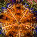 Variable Fire Urchin - Asthenosoma varium thumbnail