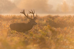 Golden Stag (DanRansley) Tags: britain cervuselaphus danransleyphotography danransleynet england reddeer uk animal antlers autumn buck countryside dawn deer fall light majesty mammal morning nature rut rutting seasons stag stagoftheday sunlight sunrise wildlife