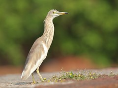 Indian Pond Heron (SivamDesign) Tags: canon eos 550d rebel t2i kiss x4 300mm tele canonef300mmf4lisusm bird fauna indian pond heron indianpondheron ardeolagrayii