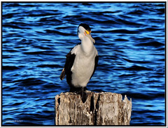 Perched (agphoto100) Tags: sea bird schorncliffe brisbane water feathers pile peir old wood ocean blue deep olympus sz16 agphoto100