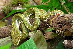 Horn Viper II- La Fortuna (sandrella2706) Tags: costarica lafortuna mysticopark elarenal centralamerica
