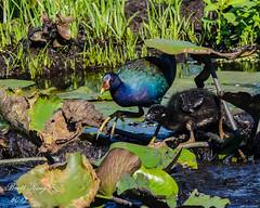 Purple Gallinule with Chick -II (dbking2162) Tags: birds bird chicks baby purplegallinule swamp wading lilypads southcarolina georgia savannahnationalwildliferefuge