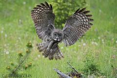 Great Gray Owl (Gregory Lis) Tags: greatgrayowl strixnebulosa gorylis gregorylis grzegorzlis nikond810 nikon britishcolumbia