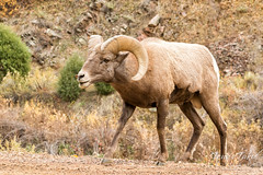 Bighorn Sheep ram sniffing as he follows the ladies