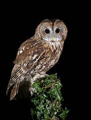 Tawny Owl (oddie25) Tags: canon 1dx 100400mmmk11 owl tawny tawnyowl birdofprey birds bird birdphotography wildlife wildlifephotography nature naturephotography ivy birdonastick