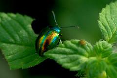 Blattkäfer (planetvielfalt) Tags: auenwald chrysomelidae chrysomelinae coleoptera cucujiformia polyphaga schkeuditz sachsen deutschland