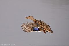 Germano reale _038 (Rolando CRINITI) Tags: germanoreale uccelli uccello birds ornitologia racconigi natura