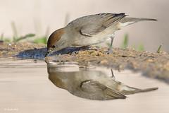 _SEN1914-E2 (Sento74) Tags: currucacapirotada sylviaatricapilla aves birds reflejos nikond500 tamron150600