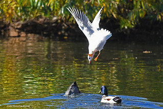 Geier Sturzflug - Gull