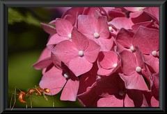 Ant's Point Of View (swong95765) Tags: ant frame flower bokeh hydrangea picture