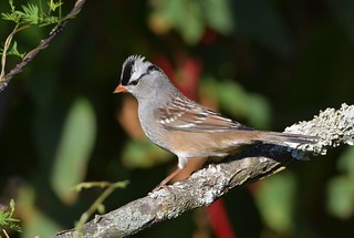 White-crowned Sparrow by Jackie B. Elmore 10-1-2017 Lincoln Co. KY