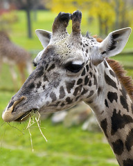 Cleveland Metroparks Zoo 11-11-2014 - Giraffe 3 (David441491) Tags: masaigiraffe firaffe clevelandmetroparkszoo