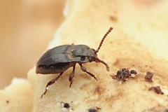 Lycoperdina bovistae (Radim Gabriš) Tags: coleoptera cucujoidea endomychidae lycoperdina lycoperdinabovistae handsomefungusbeetle beetle insect macro