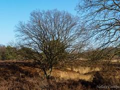 National Park De Meinweg (Nelleke C) Tags: 2016 nationaalparkdemeinweg boom heathland heide landscape landschap limburg meinweg moor nederland netherlands tree