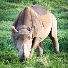 The sharp end! (Phyllis072) Tags: ywp2017 rhinoceros blackrhino rhino ywp yorkshirewildlifepark yorkshire