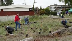 DuneGrass (boundarybayparkassociation) Tags: bbpa dunegrass planting ecoblitz