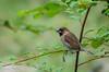 scaly breasted munia - Lonchura punctulata (hayastanlover) Tags: maleisië malaysia
