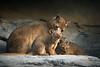Fossa Mom and Cubs (helenehoffman) Tags: mother africarocks conservationstatusvulnerable carnivore mammal fossa cryptoproctaferox nature sandiegozoo cubs madagascar miles animal