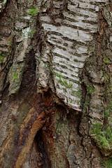 Gars am Kamp (Harald Reichmann) Tags: niederösterreich gars schanzberg baum rinde kirschbaum verletzung struktur muster