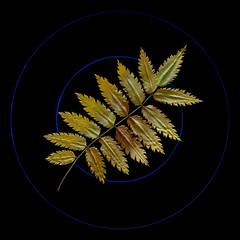 """Double Circle & Leaf"" (helmet13) Tags: d800e raw flora leaf autumn fall cooktop rowan sorbusaucuparia aoi peaceawards world100f"