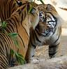 Kisses for CJ (greekgal.esm) Tags: sumatrantiger tiger bigcat cat feline animal mammal carnivore cj castrojr indah losangeleszoo lazoo losangeles griffithpark sony rx10m3 rx10iii