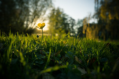 Ranunculus acris (A.Dissing) Tags: light fell perfectly ranunculus acris smørblomst park nature nice reflection yellow flower landscape grass fall summer sun sky sony a7ii a7 anders amazing art adventure awesome angle lov perfect path scape tree green forrest field fantastic flowers fun flowerscape flickr contrast close color colour denmark dissing danmark ybs2017