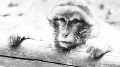 Macaque de Barbarie (Rowannon) Tags: macaque barbarie singe monkey alsace kintzheim
