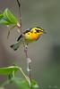 Shinning Star (Khurram Khan...) Tags: blackburnianwarbler warblers wildlife wildlifephotography wild songbirds ilovewildlife ilovenature iamnikon wwwkhurramkhanphotocom khurramkhan