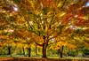 Sun Burst Maple Tree at Smith Park (Terry Aldhizer) Tags: sun burst maple tree autumn fall november smith park roanoke virginia leaves color bark terry aldhizer wwwterryaldhizercom coth coth5