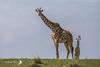Girafe Masaï - Giraffa tippelskirchi - Masaï giraffe (denisfaure973) Tags: mps girafe narokcounty kenya ke