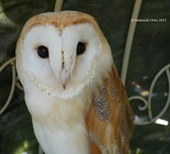 Barn owl (Wonder Kitsune) Tags: tytoalba barnowl japan yufuin oitaprefecture kyushu