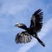Hornbill-108497