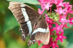 DSC04077 (denn22) Tags: butterfly schmetterling papillon september 2017 denn22 ilce7rm2 a7rm2 70200mmf28gmoss