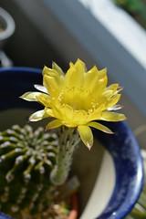 DSC_6245 Echinopsis eyriesii エキノプシス 黄花短毛丸 (miisabo) Tags: echinopsis cactus flower
