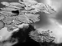 Pads (Claire Wroe) Tags: sale water park manchester chorlton lily pad pads flower leaf leaves reflect cloud reflection black white grey gray bw mono monochrome sky