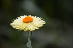 Flora : Daisy  - Close up (Sriini) Tags: white bokeh daisy orange beautiful pretty flora fleur blume geometric pattern nature 7dwf