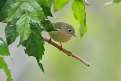 Ruby-crowned Kinglet (2006) (Bob Walker (NM)) Tags: bird kinglet rubycrownedkinglet reguluscalendula rcki perching losalamos newmexico usa