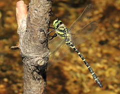 Gold-Ringed Dragonfly. (Kevin Pendragon) Tags: wings yellow green black hairs hunter resting water clear dartmoor summer sunshine nature insect