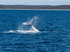 Whale_tail_fluke_171006_30298 (Donald Go) Tags: nature whalesdolphins whales jervis bay tail fluke breaching humpback whale