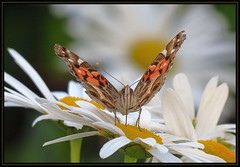 IMG_1182 Another Curtain Call 10-10-17 (arkansas traveler) Tags: butterfly paintedlady paintedladybutterfly bichos bugs insects flowers daisies shastadaisy bokeh bokehlicious nature naturewatcher natureartphotography zoom telephoto
