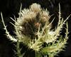 Cirsium spinosissimum (Spiniest Thistle) (Hugh Knott) Tags: cirsiumspinosissimum spiniestthistle flora zermatt helvetica valais suisse switzerland schweiz alpine