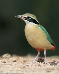 Indian pitta #185 (Ramakrishnan R - my experiments with light) Tags: 14tciii 14tc 2017 500mmf4 7d2 avian birding canon feb2017 incredibleindia nationalgeographic prime thattekadu aves aviafauna birdphotography birdwatching birder birds birdwatcher india myexperimentswithlight natural nature photography ramkrishr ramsfotobites twitcher water waterbody wild wildbirds wildlife indian pitta brachyura indianpitta pittabrachyura corvusbrachyurus corvus brachyurus passerine bird lifer lifelist thattekad kerala